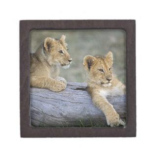 Lion cubs on log, Panthera leo, Masai Mara, Premium Jewelry Box