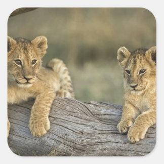 Lion cubs on log, Panthera leo, Masai Mara, Square Sticker