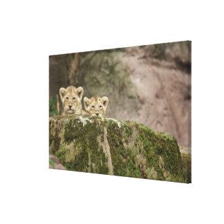 Lion Cubs Peeking Over Rock Canvas Print