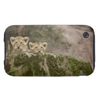 Lion Cubs Peeking Over Rock iPhone 3 Tough Covers