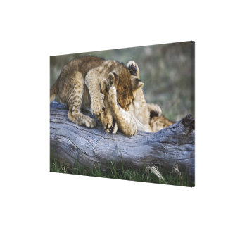 Lion cubs playing on log, Panthera leo, Masai Stretched Canvas Prints