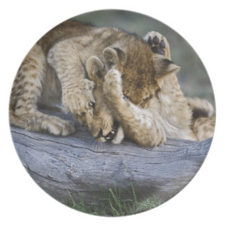 Lion cubs playing on log, Panthera leo, Masai Dinner Plate