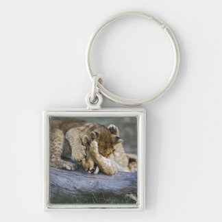 Lion cubs playing on log, Panthera leo, Masai Keychain
