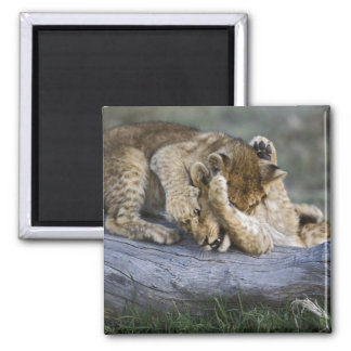 Lion cubs playing on log, Panthera leo, Masai 2 Inch Square Magnet