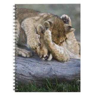 Lion cubs playing on log, Panthera leo, Masai Notebook