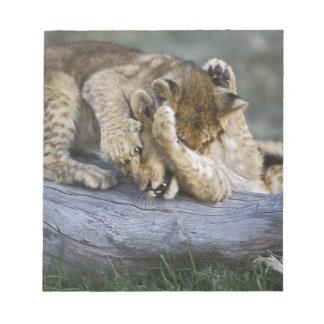 Lion cubs playing on log, Panthera leo, Masai Notepad