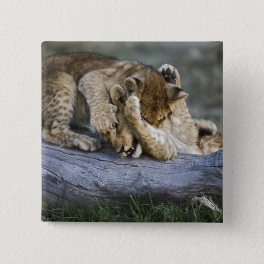Lion cubs playing on log, Panthera leo, Masai Pinback Button