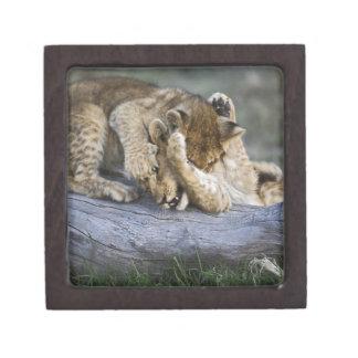 Lion cubs playing on log, Panthera leo, Masai Premium Keepsake Box
