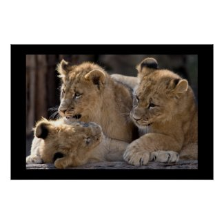 Lion Cubs Posters