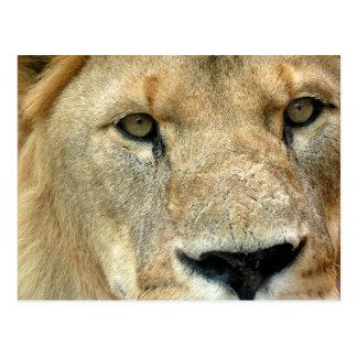 Lion Eyes Postcard
