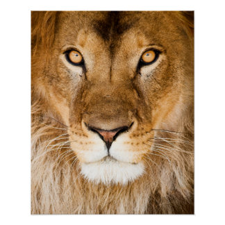Lion Face Closeup Poster