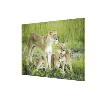 Lion family in Kenya, Africa Canvas Print