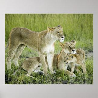 Lion family in Kenya, Africa Poster