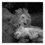 Lion grooming Lioness (animal life 1) Poster