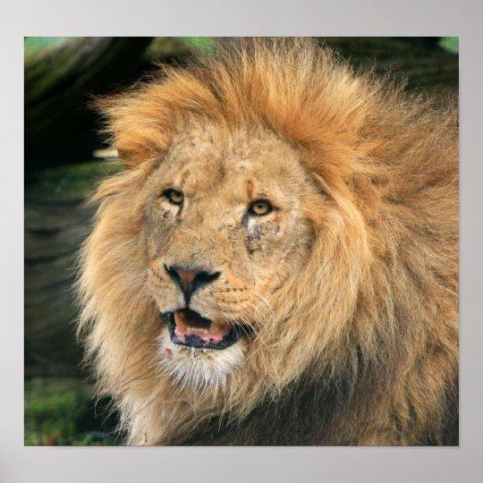 lion head beautiful photo poster,  print