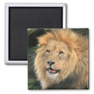 Lion head male beautiful photo magnet