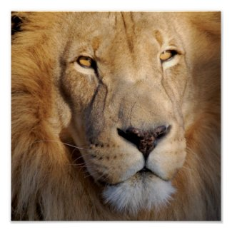Lion Images Print