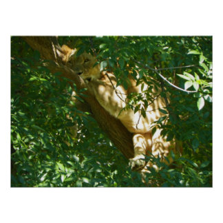 Lion in a tree looking at you poster