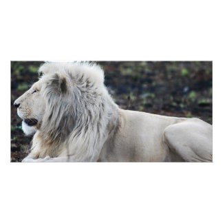 Lion in repose photo card template