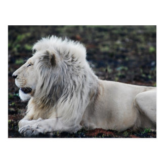 Lion in repose postcard