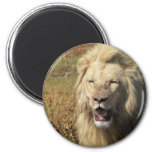 Lion in South Africa Fridge Magnet