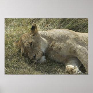 Lion in Tanzania Poster