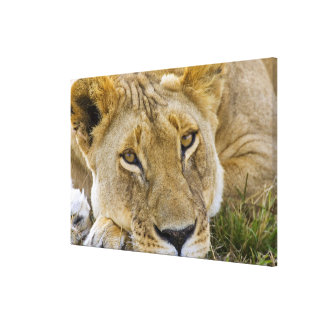 Lion in the brush, resting in the heat of the canvas print