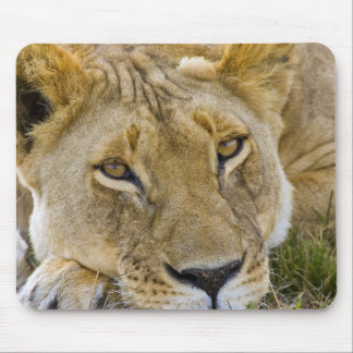 Lion in the brush, resting in the heat of the mouse pad