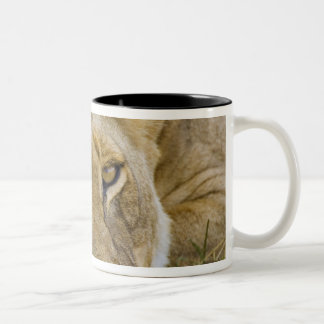 Lion in the brush, resting in the heat of the Two-Tone coffee mug