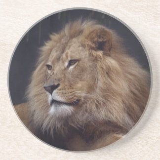 Lion Keeping Watch Over His Pride Coasters