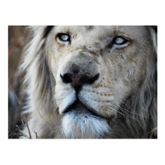 Lion listens to my heartbeat Africa Postcard
