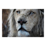 Lion listens to my heartbeat poster
