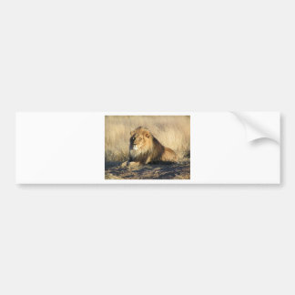 Lion lounging in Nambia Bumper Sticker