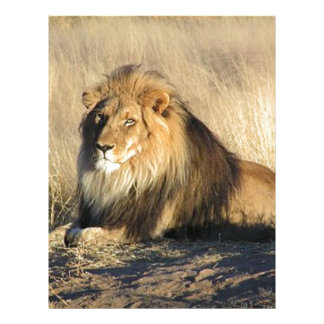 Lion lounging in Nambia Letterhead