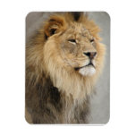 Lion Lovers King of the Jungle Rectangular Photo Magnet
