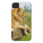 Lion lying on a rock Case-Mate iPhone 4 cases
