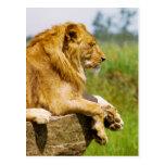 Lion lying on a rock postcard