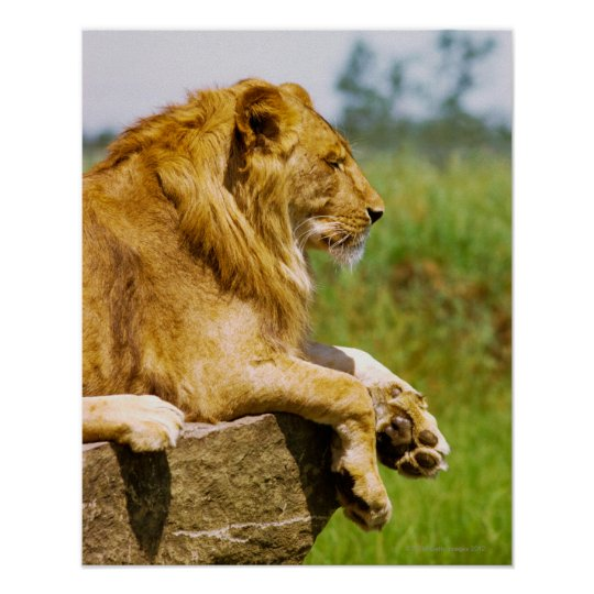 Lion lying on a rock poster