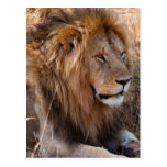 Lion Maasai Mara National Reserve, Kenya Postcard