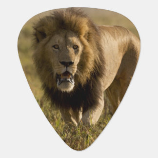 Lion male hunting guitar pick