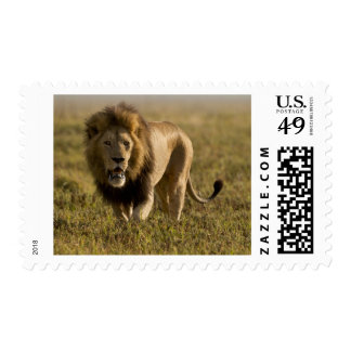 Lion male hunting postage