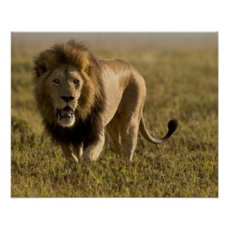 Lion male hunting poster