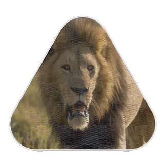 Lion male hunting speaker