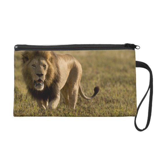 Lion male hunting wristlet