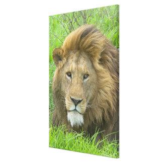 Lion Male Portrait, East Africa, Tanzania, Canvas Print