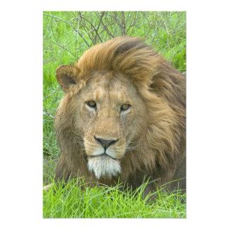 Lion Male Portrait, East Africa, Tanzania, Photo Print