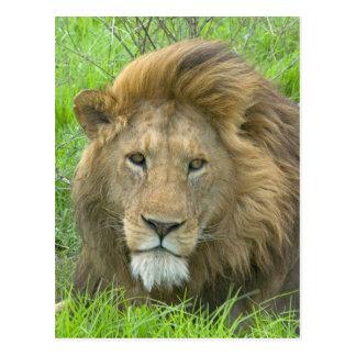 Lion Male Portrait, East Africa, Tanzania, Postcard