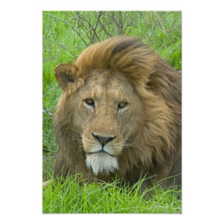 Lion Male Portrait, East Africa, Tanzania, Poster