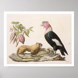 Lion monkey and condor, native to Chile or Ecuador Poster