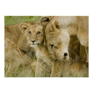 LION MOTHER AND CUBS POSTER